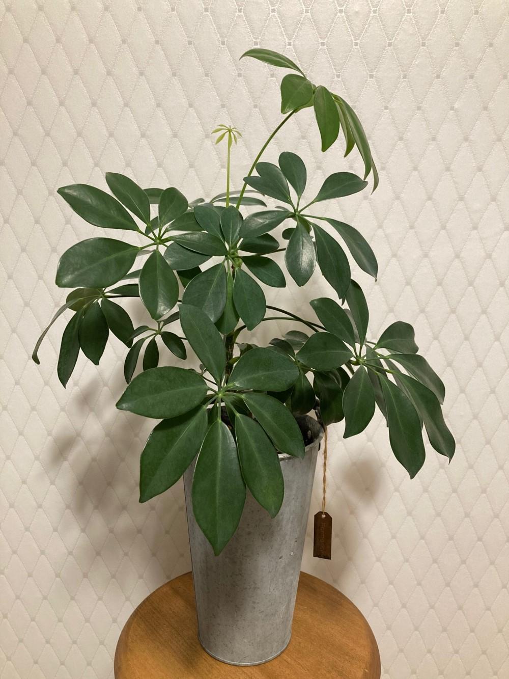 カポック観葉植物