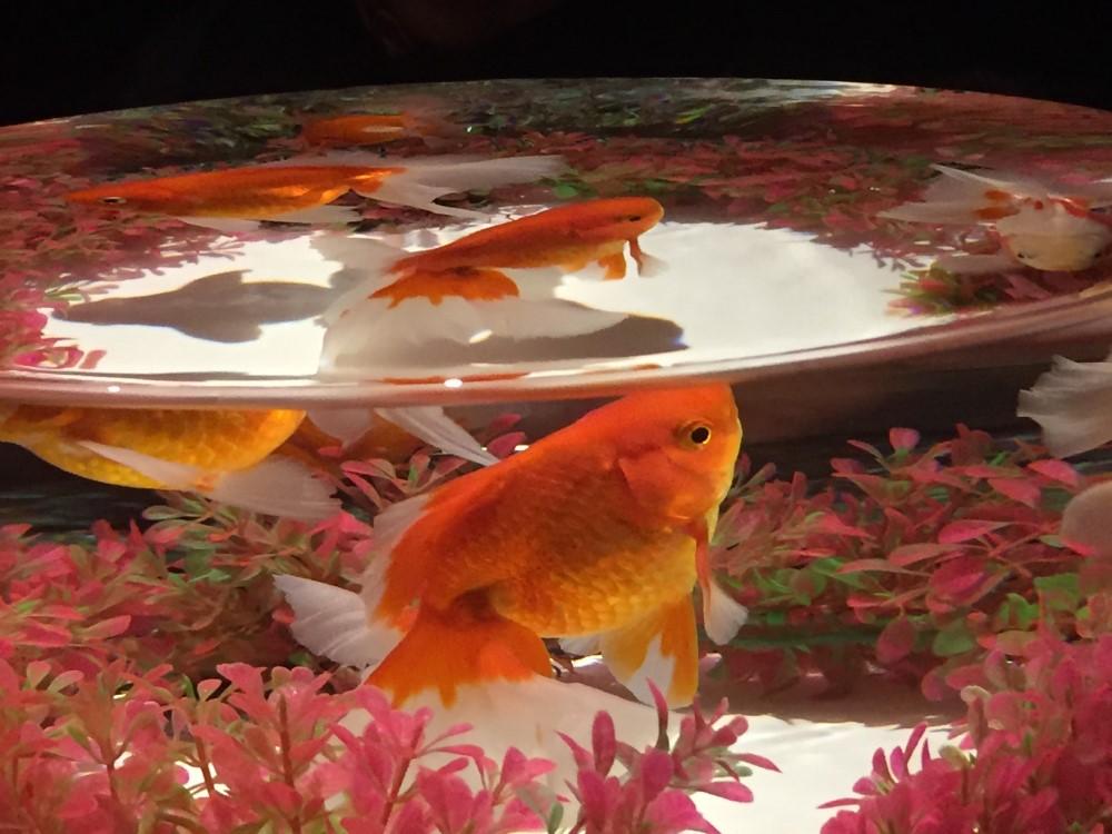 水槽の中の金魚写真