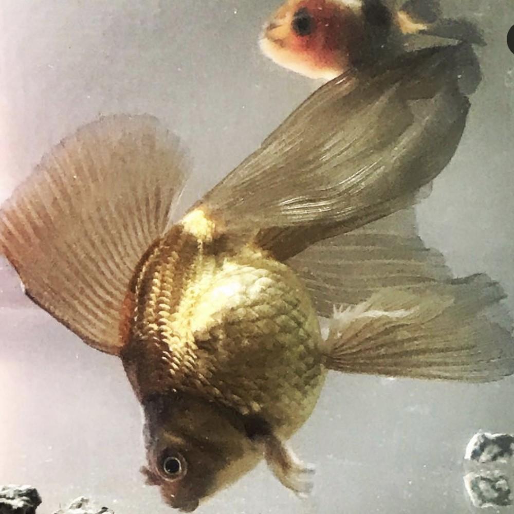 蝶尾金魚1