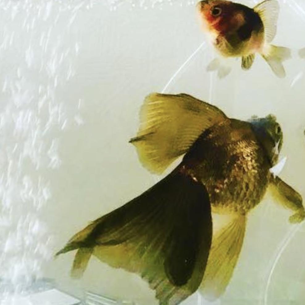 蝶尾金魚2